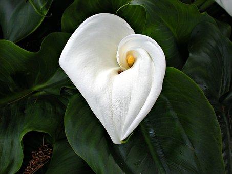 Cala, Liliy, Flower, Garden, Nature, Plant, Wedding
