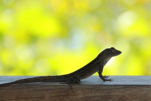 Lizard In The Lens, Lizard, Florida, Curious, Usa