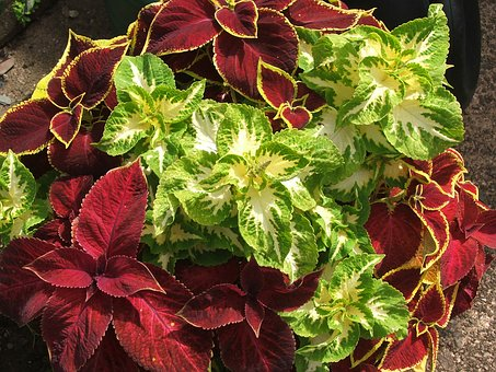 Coleus, Foliage, Maroon, Green, Yellow, Plant