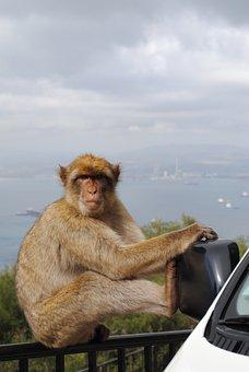 Monkey, Gibraltar, Spain, England, Rock