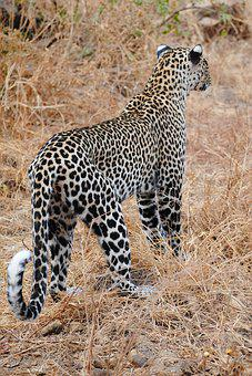 Leopard, Cat, Wildcat, Nature, Head Drawing, Africa