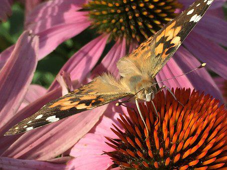 Painted, Lady, Butterfly