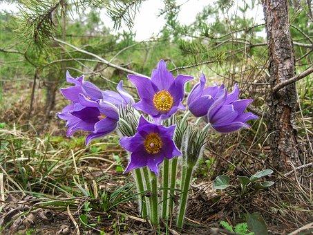 Phlomis, Flowers, Summer, Nature, Purple Petals, Forest