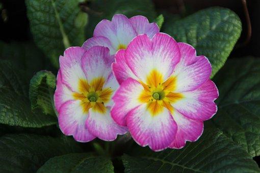 Primrose, Pink, White, Green, Plant, Spring, Flower