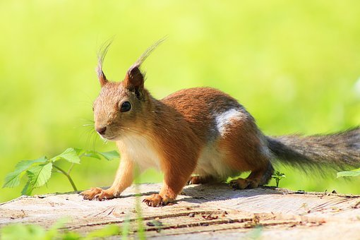 Squirrel, Animal, Park, Animals, In The Park, Rodent