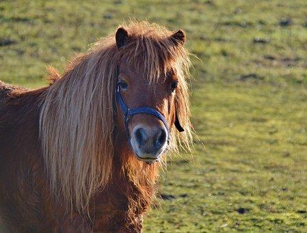 Pony, Shetland Pony, Wuschelig, Animal, Mane, Sweet