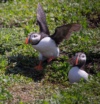 Puffin, Taking Off, Nesting, Nest Hole, Farne