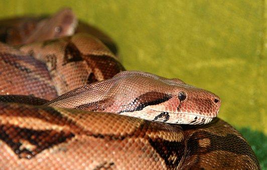 Common Boa, Snake, Boa Constrictor, Reptile, Terrarium