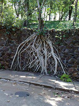 Tree Roots, Exposed, Park