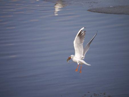Seagull, Bird, Danube, Water, Birds, Nature, Hunting