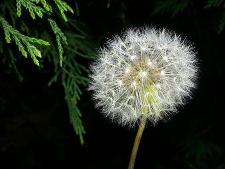 Dandelion, Time, Nature, Blowball, Plant, Seed, Weed