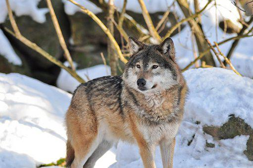 Wolf, Animals, Nature, Zoo, Wildlife, Animal Life