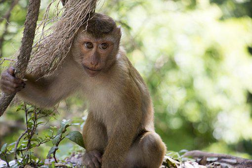 Monkey, Thailand, Asia, Sweet, Primate, Nature, Zoo
