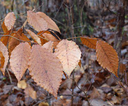 Wet Beech Leaves, Beech, Tree, Leaves, Foliage, Winter