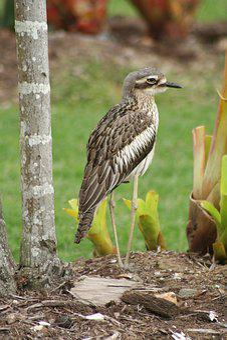 Brush Stone Curlew, Australian Birds, Birds, Wildlife
