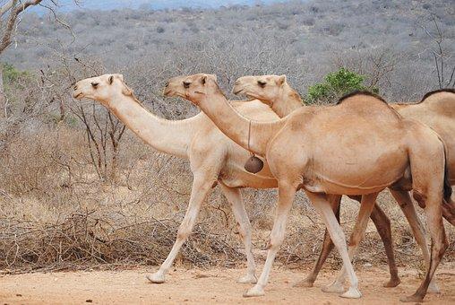 Africa, Kenya, Camel