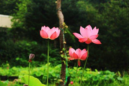 Lotus, Daechung, Lotus Village