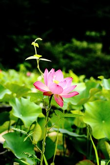 Lotus, Daechung, Lotus Village, Insects, Potted Plant