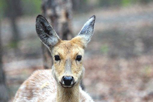 Spotted Deer, Doe, Cervus Nippon, Head, Animal, Nature