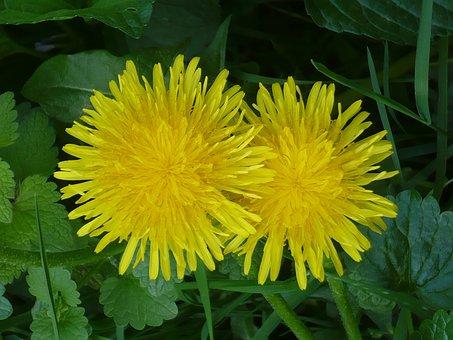 Dandelion, Dressing-gown Dandelion, Flower, Yellow