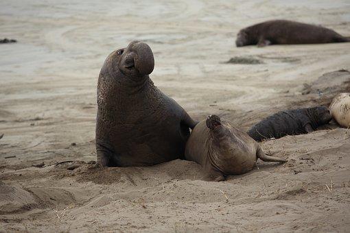 Elephant Seal, Pup, California, Nature, Marine