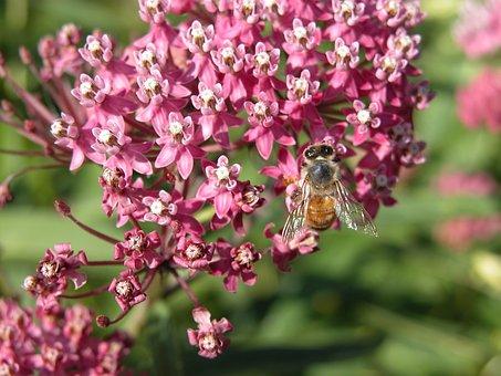 Swamp Milkweed, Red Milkweed, Bee, Flower, Milkweed