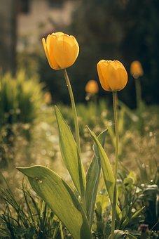 Tulip, Flower, Blooming, Plant, Cup, Garden, Macro