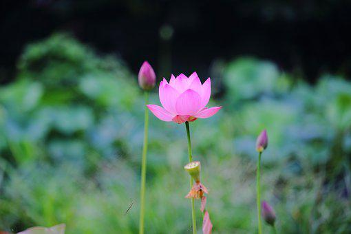 Lotus, Daechung, Lotus Village, Flowers, Pink, Insects