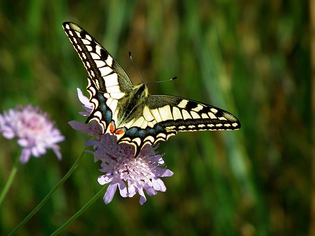Butterfly, Insect, Nauture, Nature, Macro, Garden