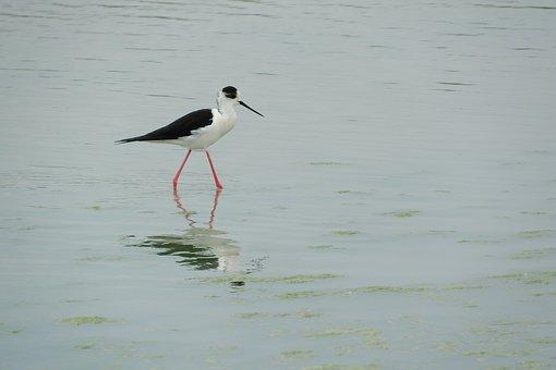 Pisila Stilt, Himantopus Himantopus, Wader, Water Bird