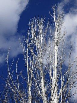 Populus Alba, White Poplar, Sky