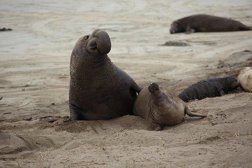 Elephant Seal, Pup, California, Nature, Marine