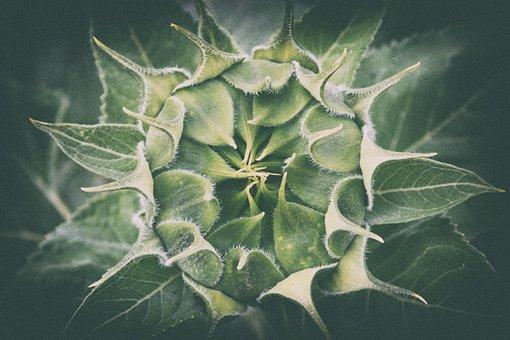Sunflower, Young, Undeveloped, Flora, Bud, Race, Summer