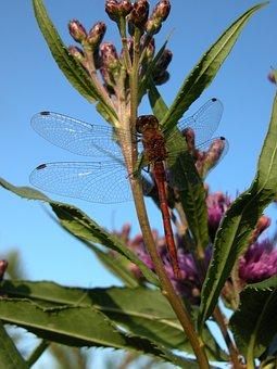 Dragonfly, Swamp Milkweed, Red Milkweed