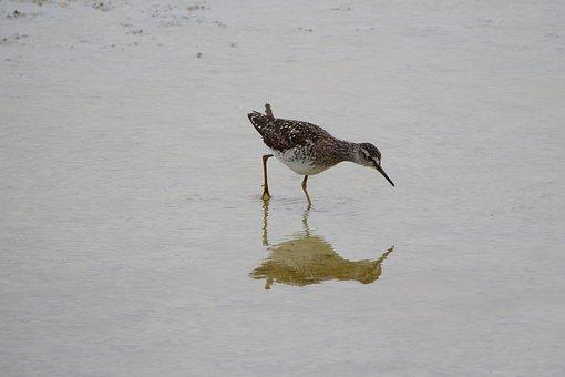 Wood Sandpiper, Tringa A, Wader, Sandpiper, Water Bird