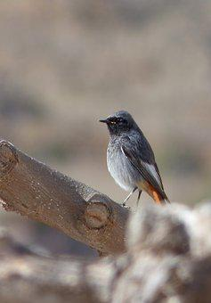 Black Redstart, Bird, Smoked Cotxa, Smoked