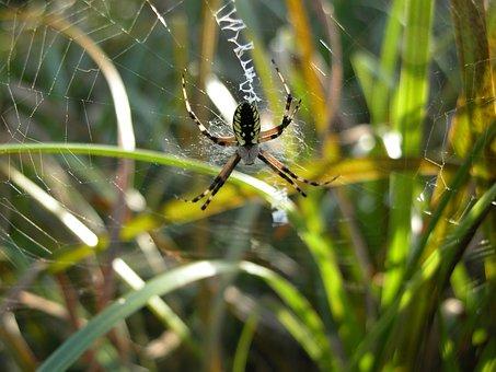 Garden Spider, Web, Arachnid, Spiderweb, Nature, Spider