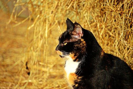 Cat, Three Coloured, Lucky Cat, Domestic Cat, Pet