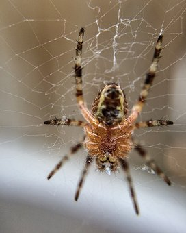 Spider, Nature, Natural, Web, Arachnid, Insect, Macro