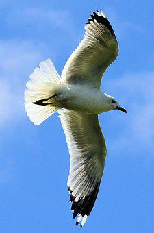 Seagull, Bird, Sky, Gull, Nature, Animal, Wild, Seabird