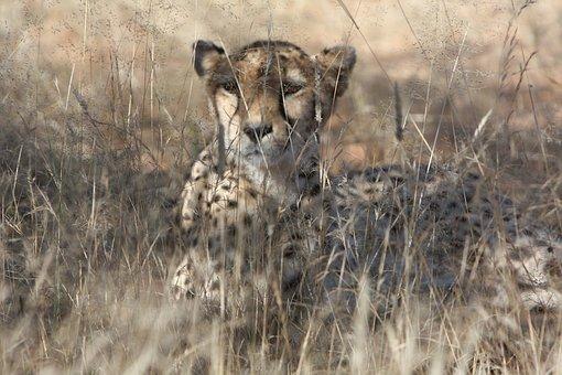 Cheetah, Namibia, Wild, Nature, Wild Animals, Africa
