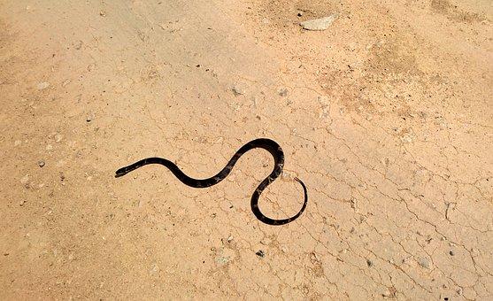 Amur Ratsnake, Snake Shrenk, Snake, Elaphe Schrenckii