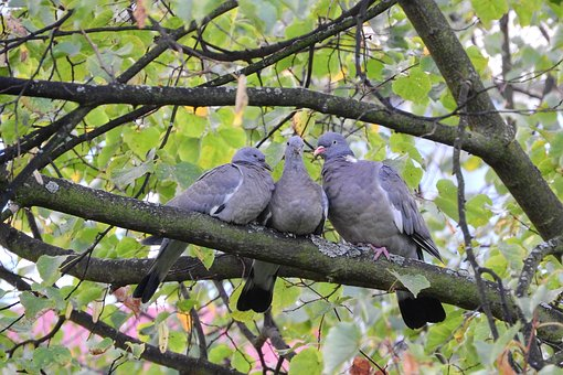 Common Wood Pigeon, Pigeons, Birds On A Branch, Columba