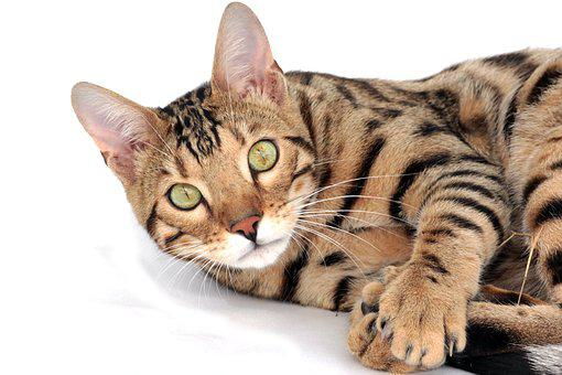 Cat, Bengal, Pet, Kitten, Breed, Bengali, Bengal Kitten