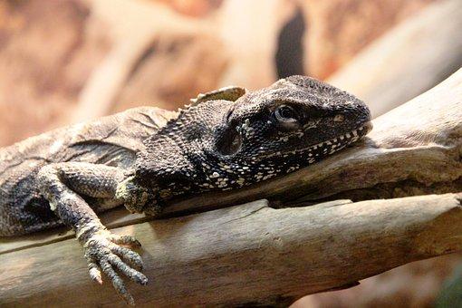 Frilled Lizard, Reptile, Chlamydosaurus Kingii, Lizard