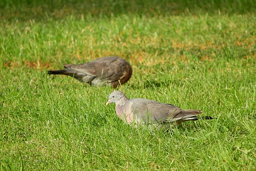 Common Wood Pigeon, Columba Palumbus, In The Grass