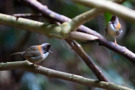 Doi Phu Kha, Mt Crested White Eye, Birds