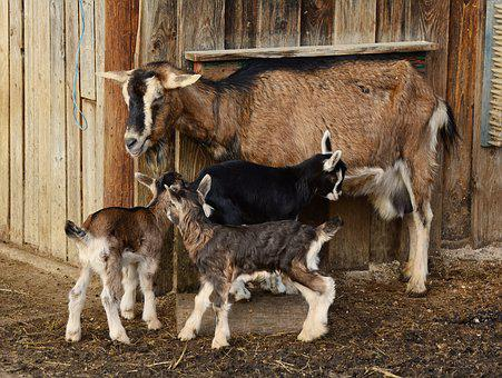Goats, Kid, Young Goats, Domestic Goat, Lambs