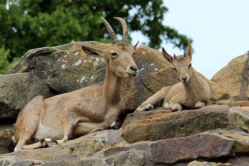Animal, Mammal, Horns, Mountain Goat, Rock, Zoo
