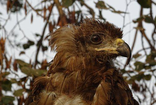 Bird, Portrait, Avian, Kite, Black Kite, Milvus Migrans